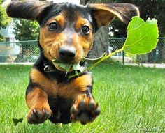Leaf! Leaf! Leaf! Oh MY Goodness, I have a LEAF! A LEAF, I SAY!  This is totally my puppy!!!!