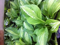 """"""" tall my favorite Hosta Gardens, Yard, Vegetables, Plants, Pictures, Photography, Photos, Patio, Photograph"""