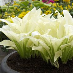 Hosta White Feather...An amazing new development - large pure white lush leaves emerge in late spring/early summer. Throughout the summer green streaks develop on the foliage creating an unusual yet beautiful effect. Lavender flowers in summer are just an additional bonus