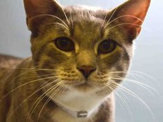 """CHEWLY - A1047189 - - Manhattan **TO BE DESTROYED 08/28/15** Chewly is the last of his group in the ACC, and tonight would very well be his last night on earth. Why? Because his former owner had """"personal problems"""" and surrendered he and 2 housemates to the ACC. One of his buds made it out alive, one of them was killed, and as for CHEWLY? This gorgeous grey boy is young, healthy, AVERAGE rated—he has everything it takes to be a PERFECT pet, if only someon"""