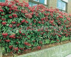 Cotoneaster lacteus -