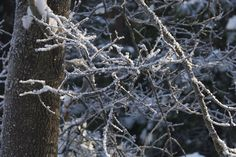 ice crystals Ice Crystals, Trees, Plants, Tree Structure, Plant, Wood, Planets