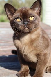 Beautiful Burmese Kitten
