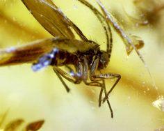 ingesloten fossiele mug in Baltisch barnsteen van 44 miljoen jaar oud. microscoop opname.