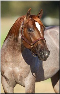 Red Roan horse with pretty face. What a gorgeous colored horse!