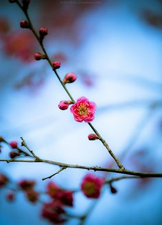 Plum Blossom @ Kitano Tenmangu Shrine