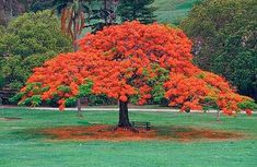 I want one of these trees. The grow all over Central America. It's common name is the Flamboyant Tree, or Flame Tree.