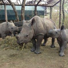 Lewa Wildlife Conservancy Fundraiser (pictured are Lewa's three rhino 'muskateers': Nicky, Hope and Kilifi)