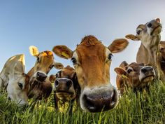 Photograph Curious cows by Troels Klausen on Cows will creep in and stare at any little thing that is different to them. Vegan Animals, Farm Animals, Animals And Pets, Cute Animals, Cow Wall Art, Cow Art, Happy Cow, Cute Cows, Jolie Photo