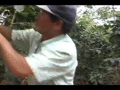 Visiting an organic, bird-friendly, shade-tree coffee farming in San Ramon, Costa Rica. Espresso Machine Reviews, Coffee Farm, San Ramon, Shade Trees, Organic