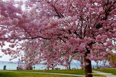 """Japanische Kirsche im Seegarten in Allensbach am Bodensee - Augen auf... die Natur komponiert in """"Wem geht ein Wind durchs Herz?"""""""