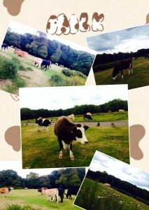 Cows roaming in the park