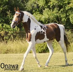 Just The Right Horse American Saddlebred Farm - Camelot A Spotz
