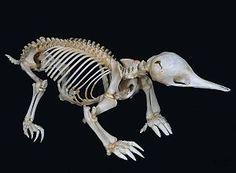 Echidna (Tachyglossus Species) Articulated Skeleton.