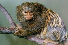 Pygmy Owl Monkey - Bing Images