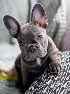Blue French Bulldog Puppy ❤