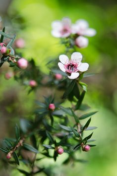 Manuka Bloom New Zealand Makes the best honey in the world Manuka honey is liquid gold Australian Native Flowers, Australian Plants, Honeymoon In New Zealand, Best Honey, Garden Of Earthly Delights, Kiwiana, Manuka Honey, Native Plants, Trees To Plant