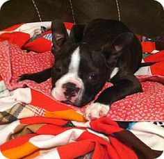 Various Cities in the entire Southeast, TN - Boston Terrier. Meet Beno Taylor KY a Puppy for Adoption.