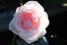 'Racquel Renaissance' Renaissance, Rose, Flowers, Plants, Pictures, Pink, Plant, Roses, Royal Icing Flowers