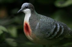 Luzon Bleeding-heart dove, a species of ground dove, gets its name from a spatter of bright red color at the center of its white breasts. The red patch looks like a bleeding wound. But it isn't. It's just a natural color.   The bird is perfectly healthy.  Bleeding heart dove seldom leaves the ground. Whenever they fly off, it's to get into their nests.   All praise be to Allah Almighty.