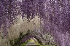 Wisteria Gardens and Tunnel in #Japan #Nature
