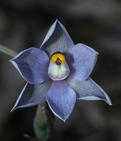 Shy-Sun-Orchid - Thelymitra, by kimborow