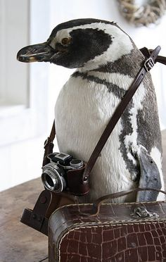 My penguin, Hefferton Pembrooke Baskerville The 4th... or Bob, for short Beautiful Creatures, Animals Beautiful, Cute Baby Animals, Funny Animals, Wild Animals, Penguin Love, Funny Penguin, Penguin Parade, Olivia Palermo