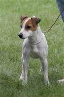 Jack Russell Terrier breeders