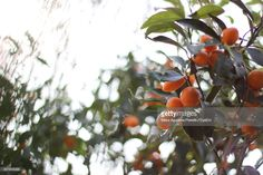 View top-quality stock photos of Low Angle View Of Fruits On Tree. Find premium, high-resolution stock photography at Getty Images. Fair Oaks, Low Angle, Royalty Free Images, Angles, Stock Photos, Fruit, Copyright Free Images, The Fruit