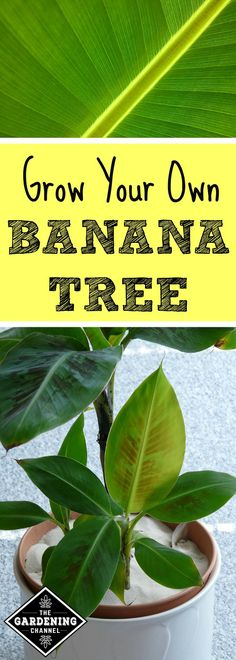 Banana trees are fast growing perennials that require a lot of sunlight to grow well. Plant the banana plants in the ground or in a container.