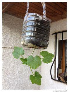 Jeune plant de courgette à l'envers en bouteille suspendue accrochée au plafond