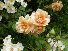 'Crépuscule ' Rose Photo