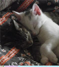 fiona and fingal (kittens) sleeping. i wish our cats would snuggle like this.