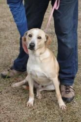 #TEXAS #URGENT ~ Clausen ID 15126 is a Labrador / Golden Retriever mix dog in need of a loving #adopter or receiving #rescue at GALVESTON COUNTY ANIMAL RESOURCE CTR  3412 25th Ave N    #TexasCity TX 77590  arc@gchd.org  Ph 409-948-2485