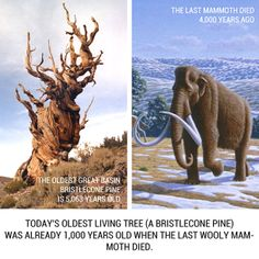 """18 Historical Events That Happened at the Same Time - This pic: A bristlecone pine tree is the oldest living organism on earth. In 2013, a bristlecone in the same area as """"Methuselah"""" (long thought to be the oldest at 4845 years) was found with an age of 5064 years (germination in 3051 BC)!"""