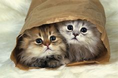 Two Persian cats who find the most odd places to hide.
