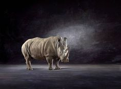 """""""White Rhino,"""" rhino photograph by artist Lindsay Robertson available at Saatchi Art 