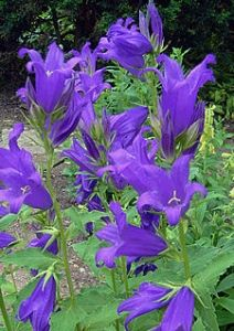 Campanula Giant Bellflower ...3ft stalks and bloom long through the summer months and again in the fall if you cut them back. Deer don't like them.