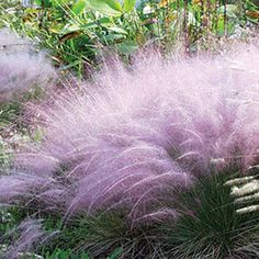 Muhly Grass never had it so good! This ultra-rugged, ultra-tough native grass is topped in late summer and fall by enormous plumes of cotton-candy pink, as airy as puffballs, as showy as the most elegant bloom!