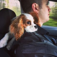 Gunner the cavalier - Backseat driver?! What?! Me?? No! Never!
