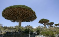 Dragon's Blood trees, known locally as Dam al-Akhawain, or blood of the two brothers, on Socotra island on March 27, 2008. Prized for its red medicinal sap, the Dragon's Blood is the most striking of 900 plant species on the Socotra islands in the Arabian Sea, 380 km (238 miles) south of mainland Yemen.