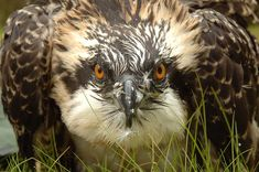 England's forests: osprey chicks waiting to be ringed weighed and measured