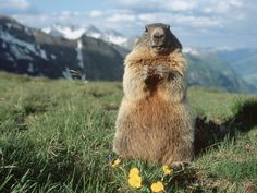Alpine Marmot Hohe Tauern National Park Austria - a groundhog only an orthodontist could love