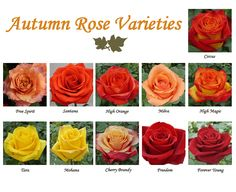 Autumn Roses. More amazing info in this post.