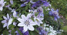 Clematis gibt es in fast allen Farben. Mit dieser Sorten-Auswahl können Sie sich die ganze Saison über an neuen Clematis-Blüten erfreuen.