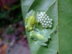 Glass frogs and their eggs