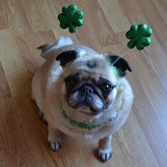 Our Bailey Puggins St. Patrick Day Pug