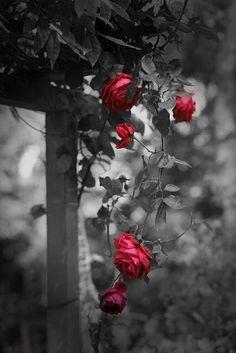 *Climbing Red Rose,,,color splash,,,