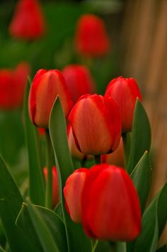 Free Image on Pixabay - Tulips, Red, Green, Color, Nature