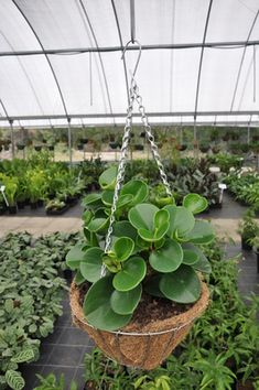 Peperomia obtusifolia 'Jade' - A short but broad growing understory plant or pot plant with thick glossy, rounded leaves. Fantastic indoor plant, especially in hanging baskets in bright conditions without harsh direct sun.